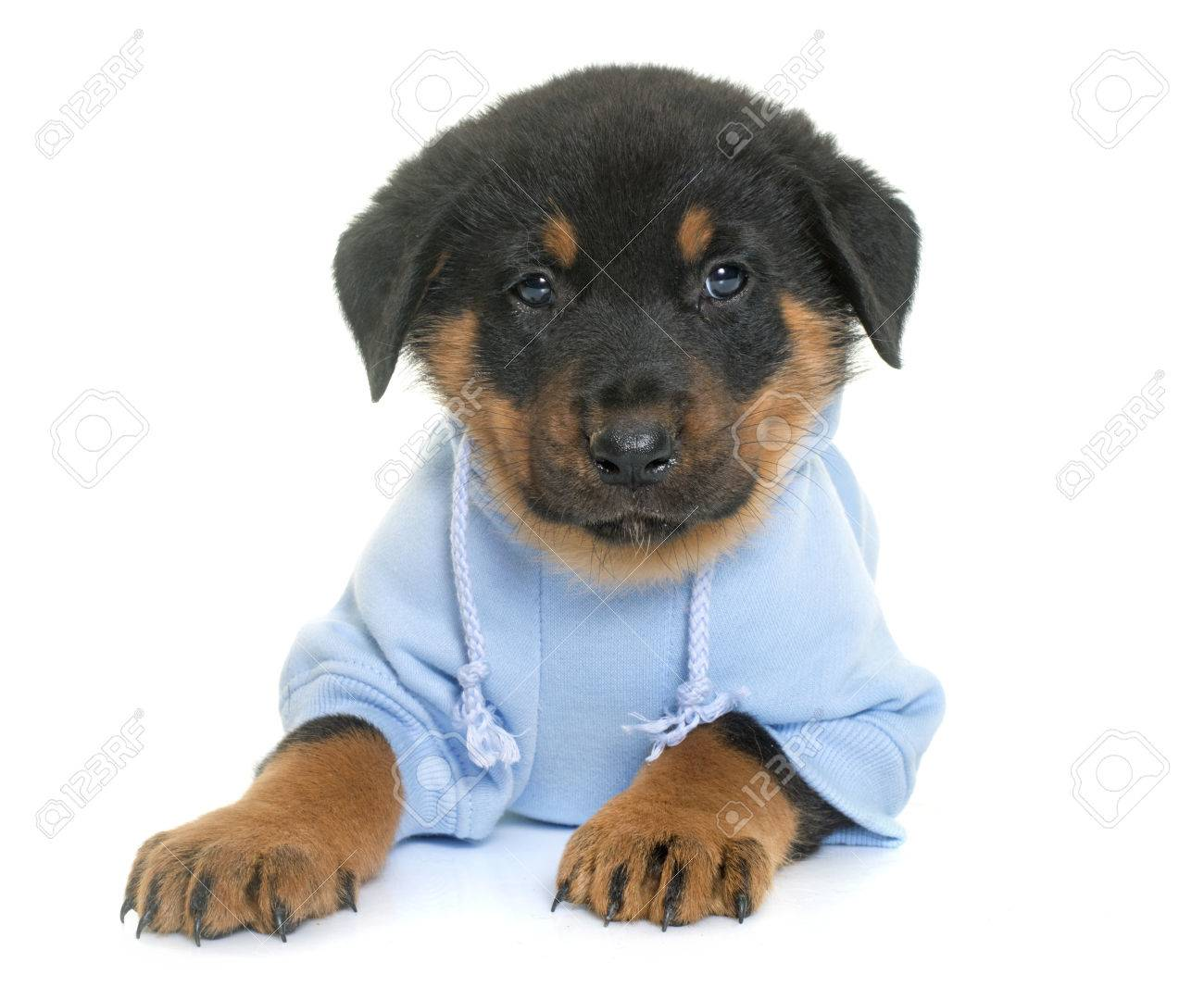 Dressed Beauceron Puppy In Front Of White Background Stock Photo