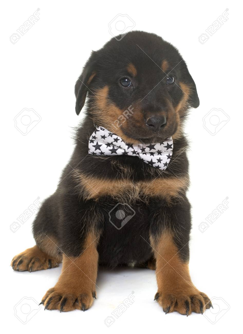 Beauceron Puppy In Front Of White Background Stock Photo Picture