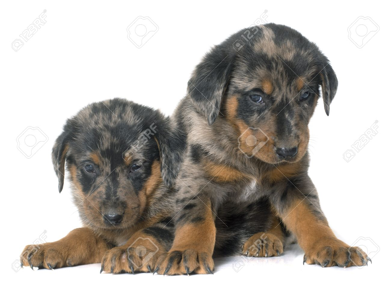 Beauceron Puppies In Front Of White Background Stock Photo Picture