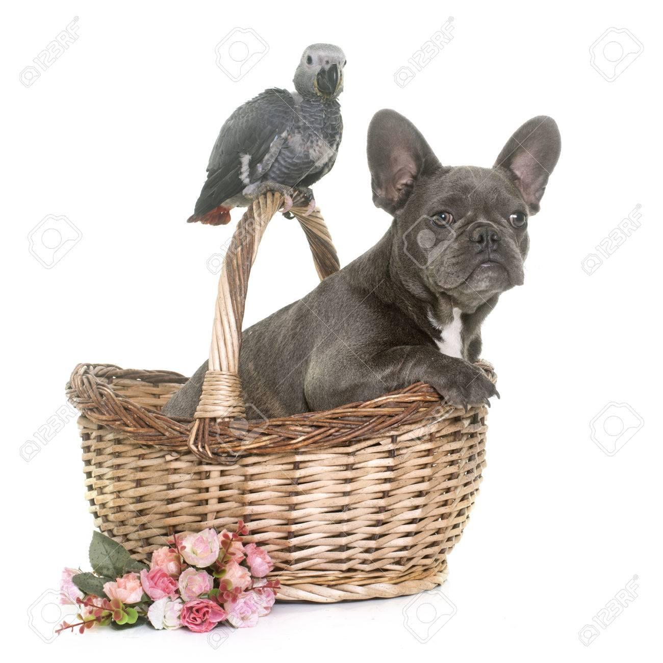 Loro Gris Bebé Y Bulldog Francés Cachorro Delante De Fondo Blanco