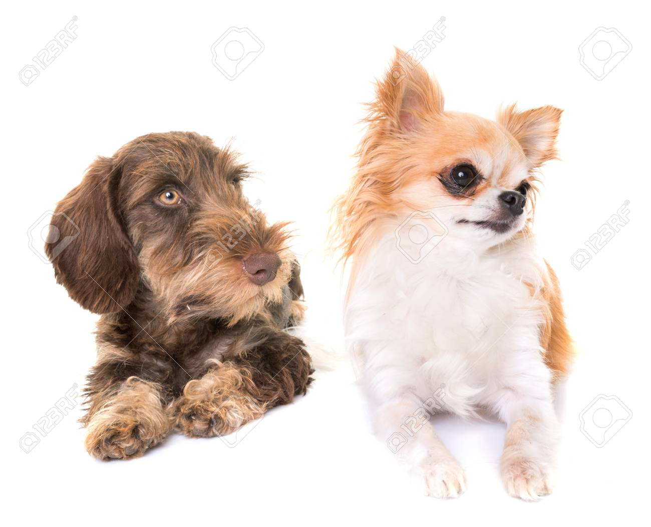 Puppy Wire-haired Dachshund And Chihuahua In Front Of White ...
