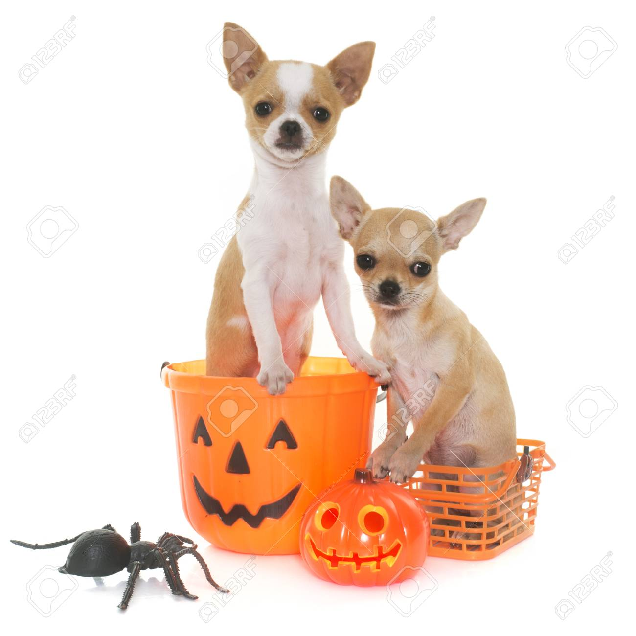 Puppies Chihuahua For Halloween In Front Of White Background Stock