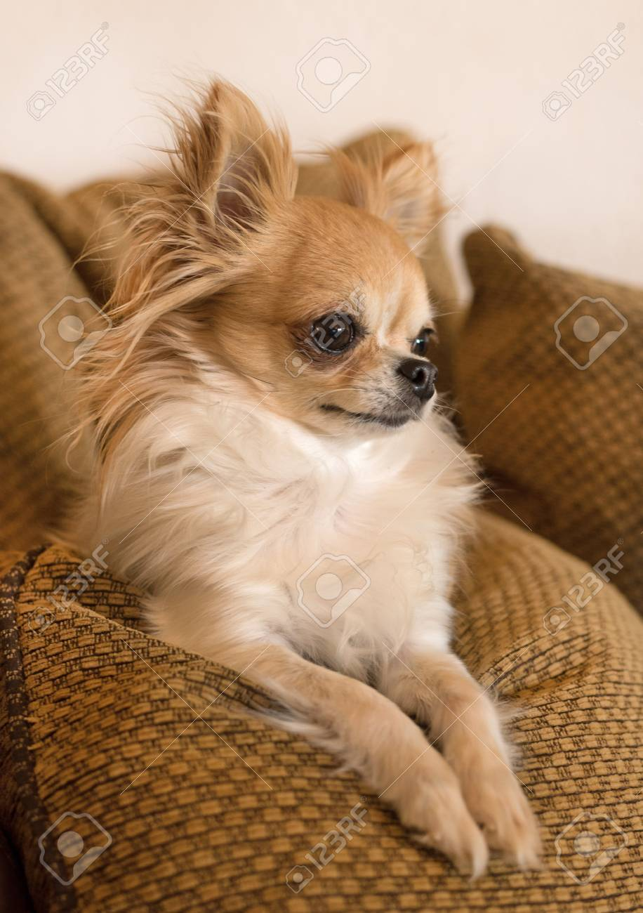 Long Hair Chihuahua Lying Down On A Sofa Stock Photo Picture And