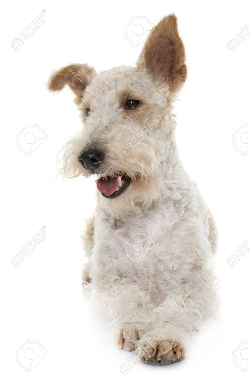 Female Fox Terrier In Front Of White Background Stock Photo, Picture ...