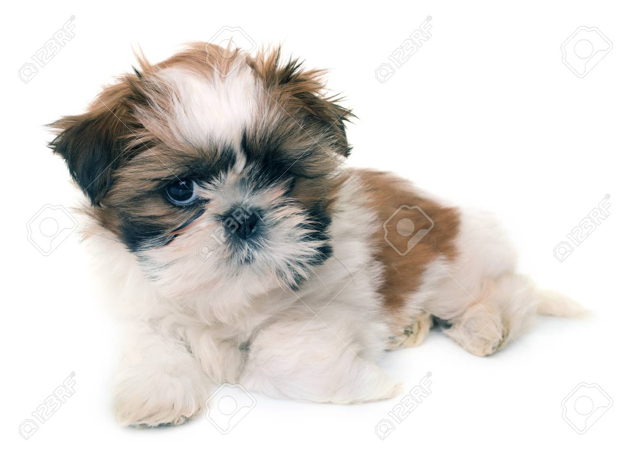 Shih Tzu Puppy In Front Of White Background Stock Photo Picture And Royalty Free Image Image 89308617
