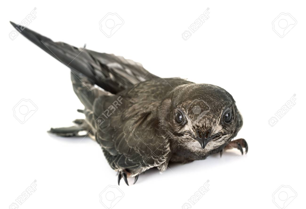 Common swift in front of white background