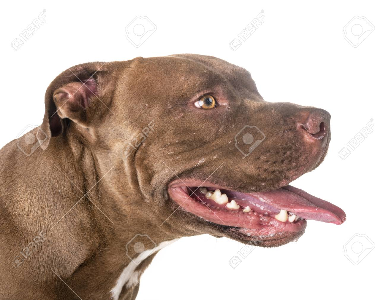 pitbull red nose in front of white background stock photo picture