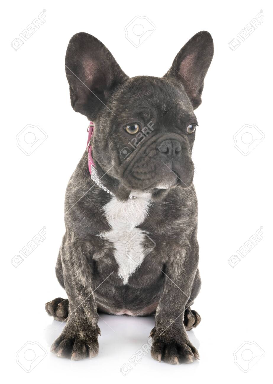 puppy french bulldog in front of white background - 120990702