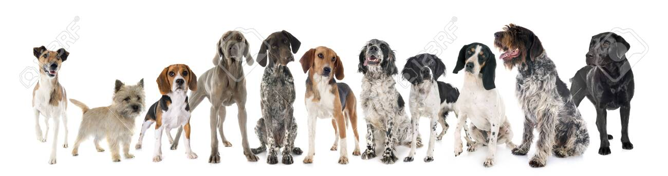 hunting dogs in front of white background - 144782020