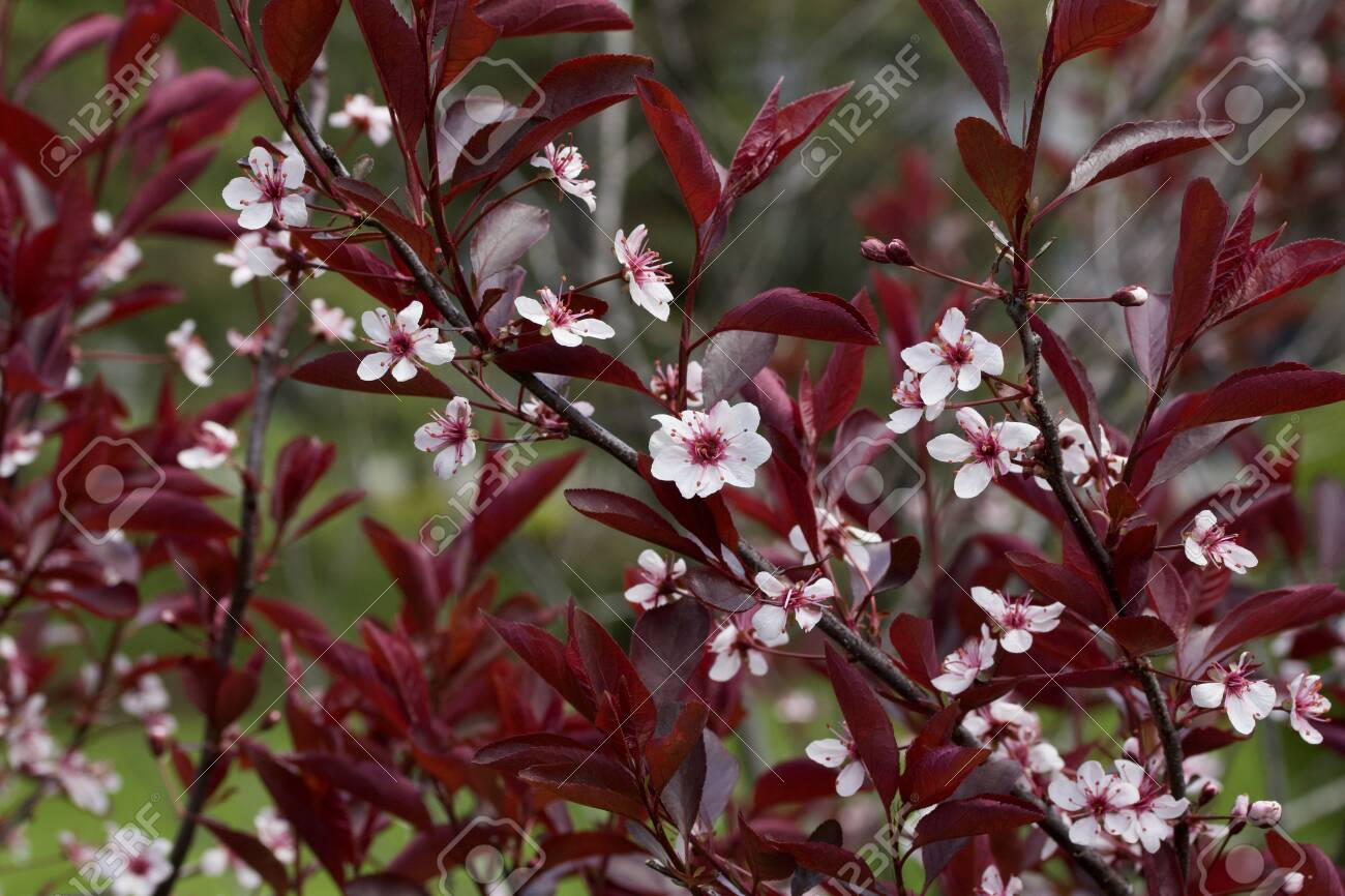 Close Texture View Of Purple Leaf Sand Cherry Blossoms Stock Photo