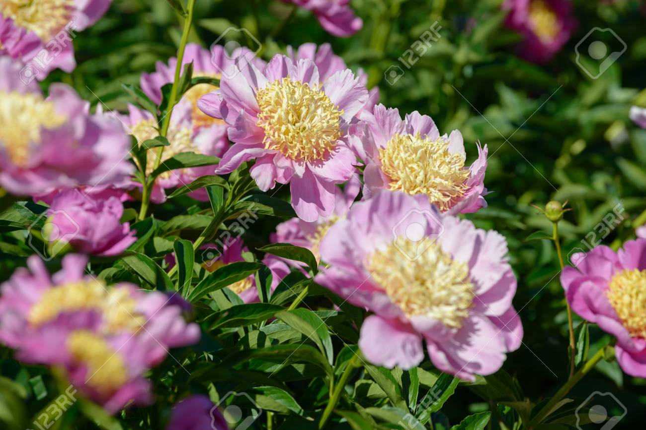 Peony Flower Red White And Purple Peony Flowers Blooming In Stock