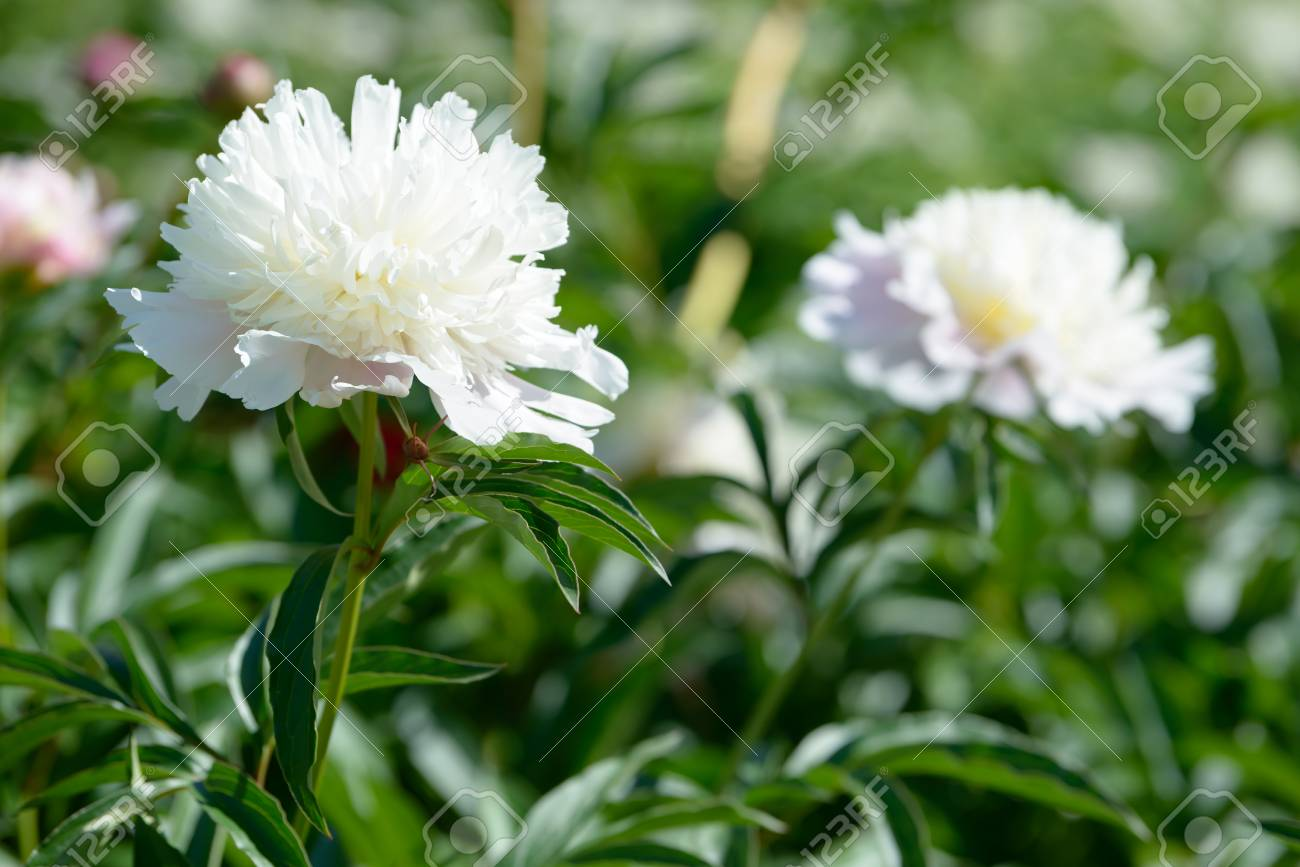 Peony Flower Red White And Purple Peony Flowers Blooming In The