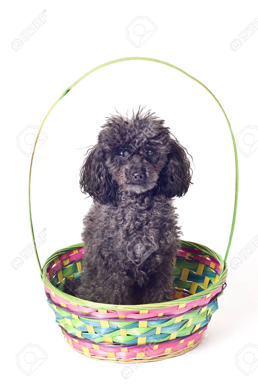 black poodle isolated on a white background with slight shadow Stock Photo - 4388683