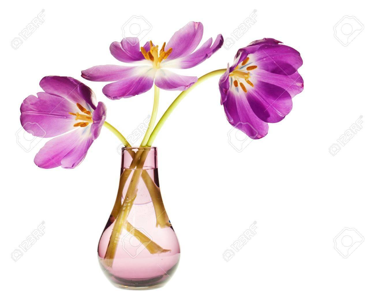 purple tulip isolated on white background Stock Photo - 4988495