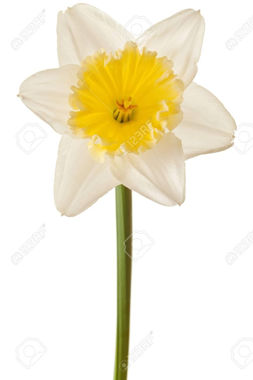 Blanc De Printemps De Fleur Jonquille Isolee Sur Fond Blanc Banque D
