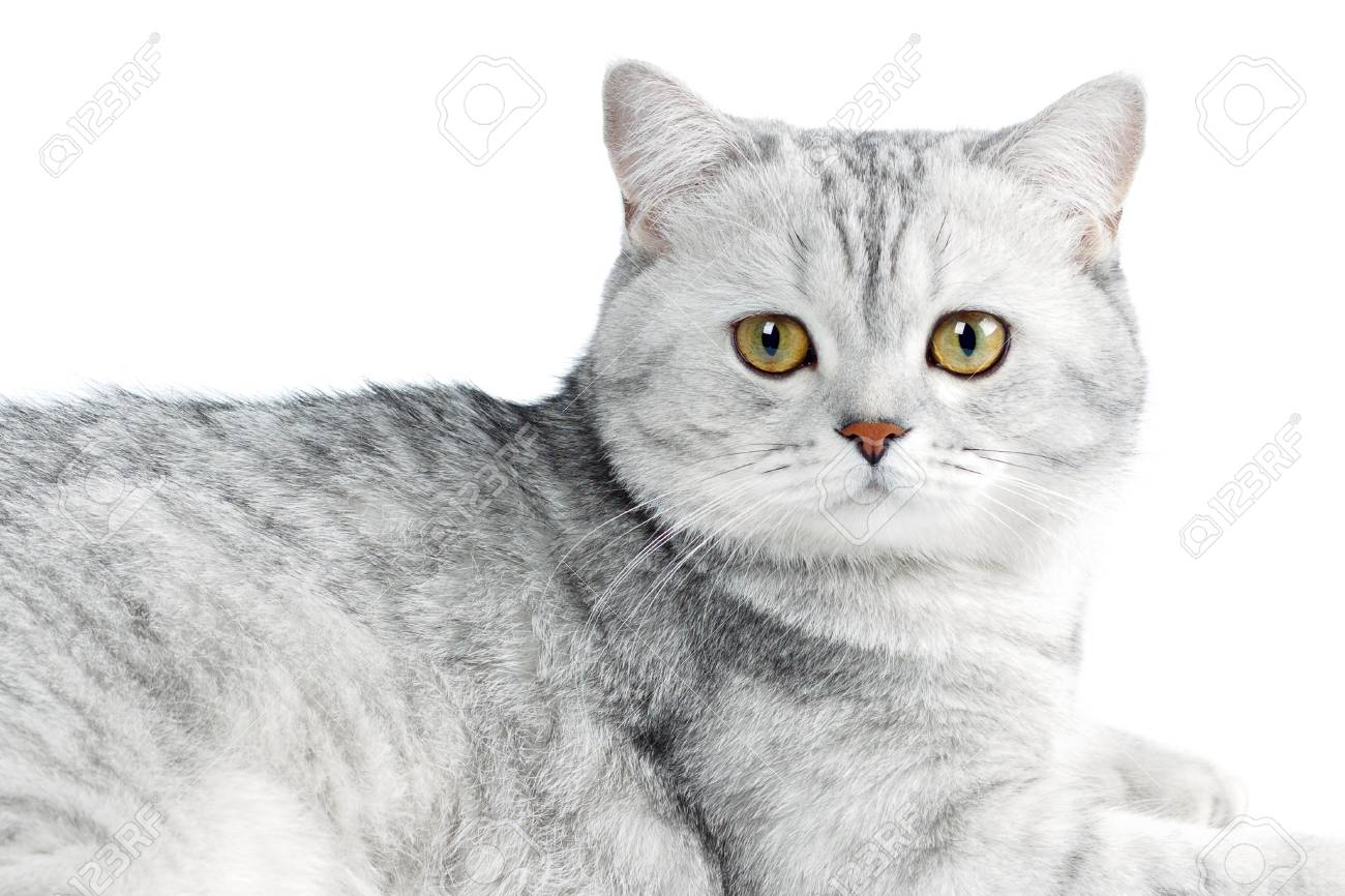 Portrait Of British Shorthair Cat Gray Striped Chinchilla Isolated Stock Photo Picture And Royalty Free Image Image 94813236