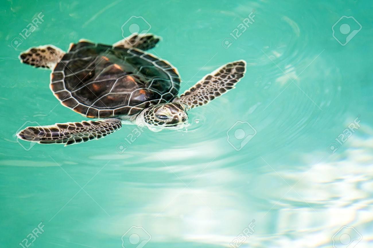 Niedlichen Baby-Schildkröte Gefährdeten Schwimmen Im Türkisfarbenen ...
