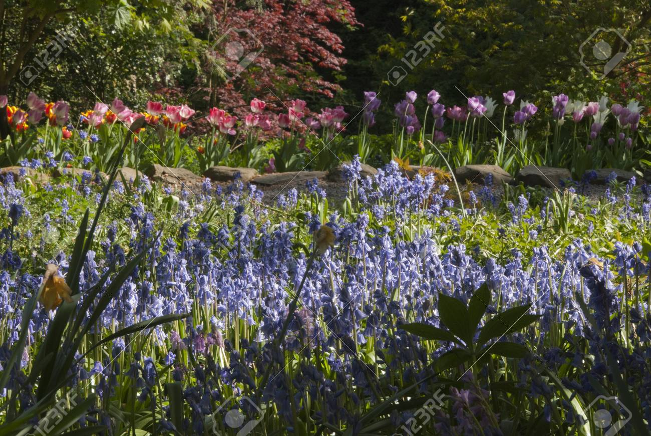 Tulips and Bluebells in an English Woodland Stock Photo - 9464948