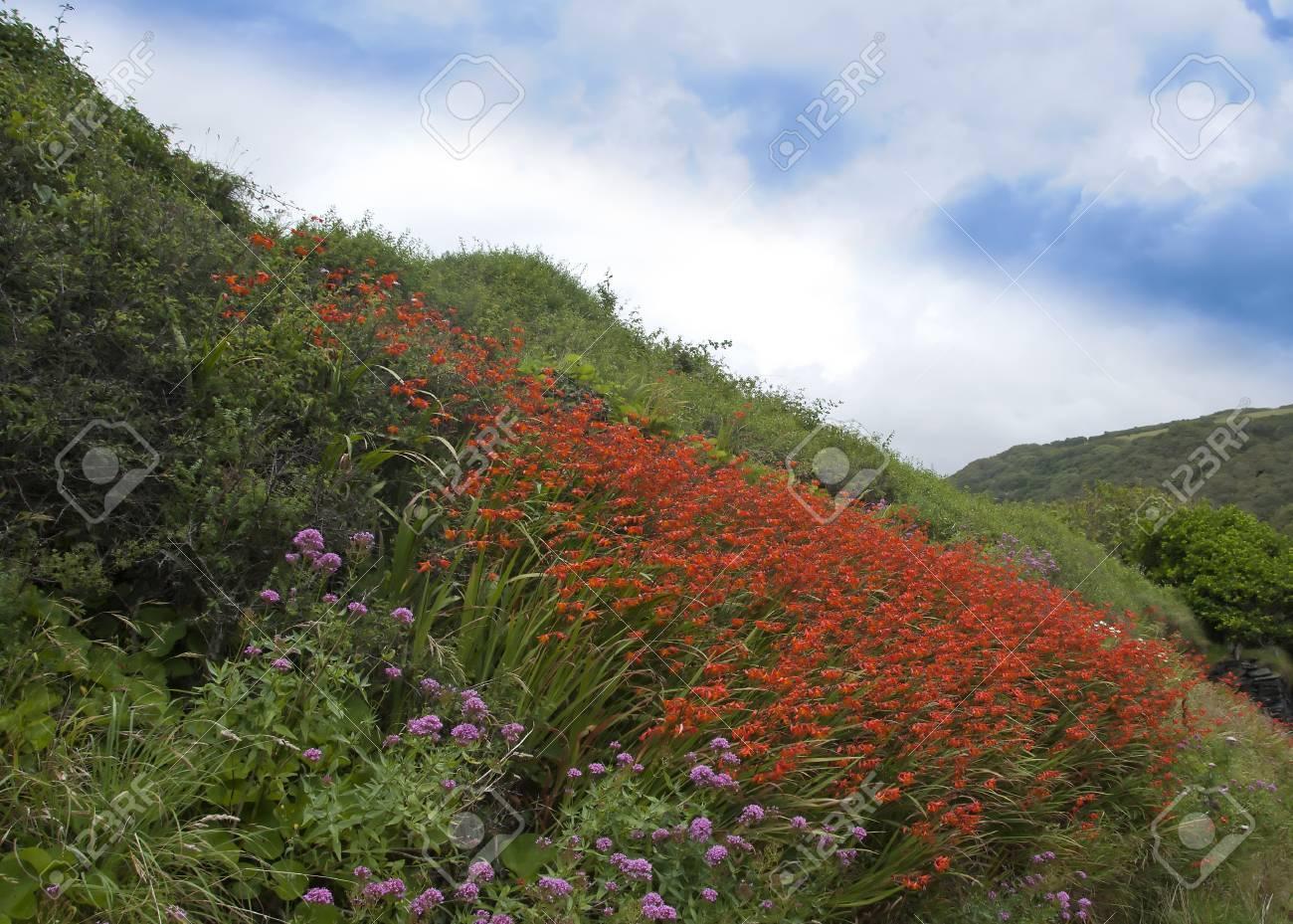 Orange Crocosmia Flowers on a Cornish Hillside Stock Photo - 15490999