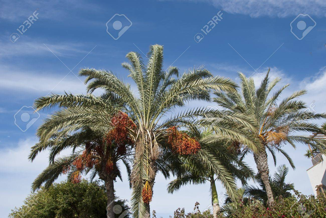 Two Date Palms laden with fruit under a blue sky Stock Photo - 17103148