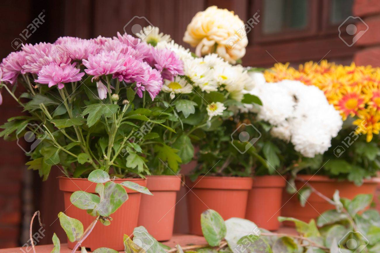 chrysanthemums in pots on the balcony Stock Photo - 15196690