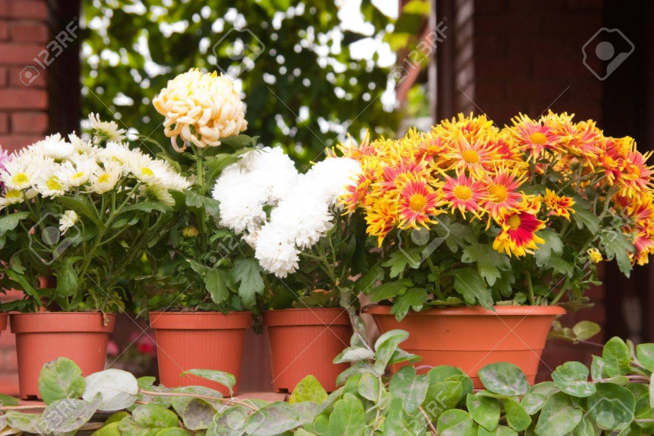 colorful flowers in pots standing on the porch Stock Photo - 16656554