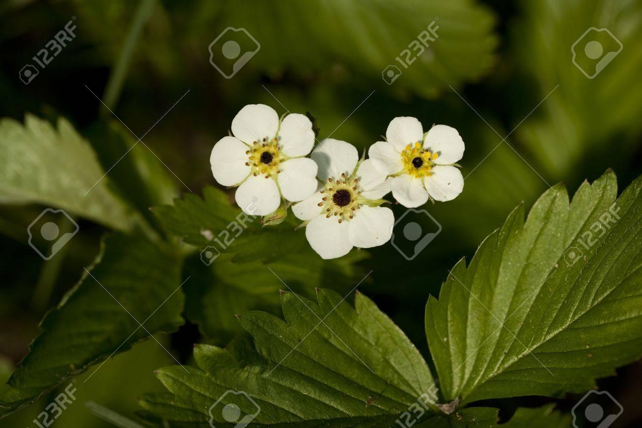Fleur De Fraisier Sauvage Sauvagement De Plus En Plus Dans La Foret