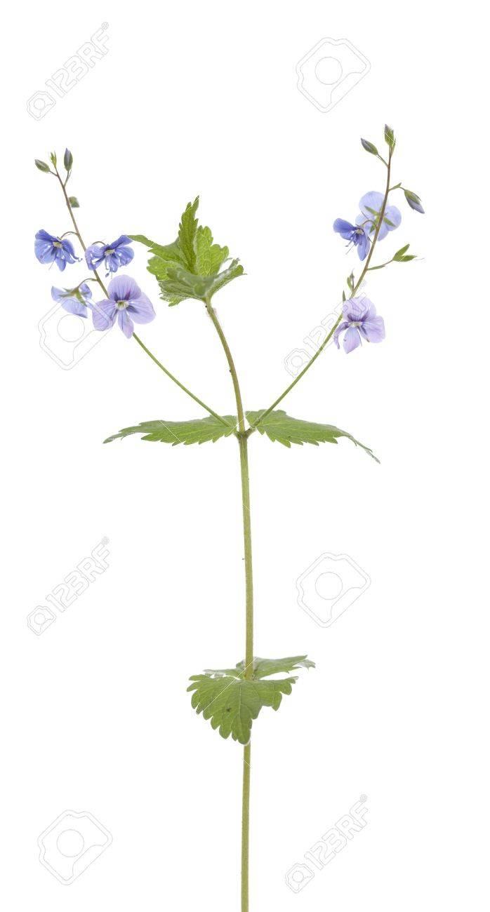 Little blue flower veronica chamaedrys on white background stock little blue flower veronica chamaedrys on white background stock photo 20022572 mightylinksfo