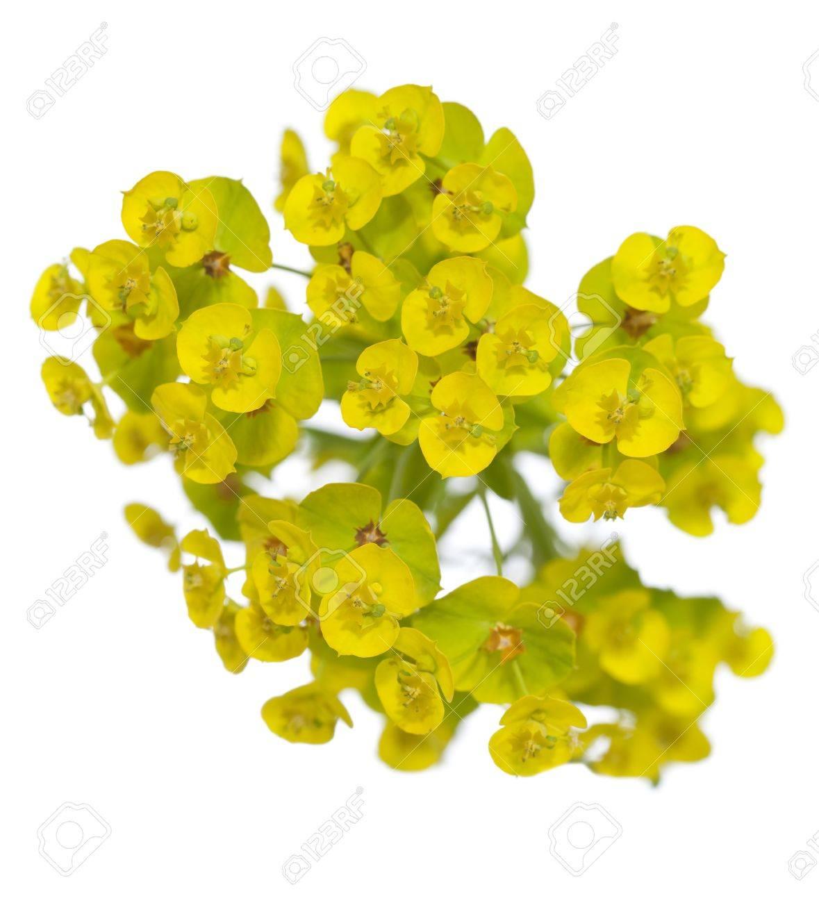 Single Flower Euphorbia Esula On White Background Stock Photo
