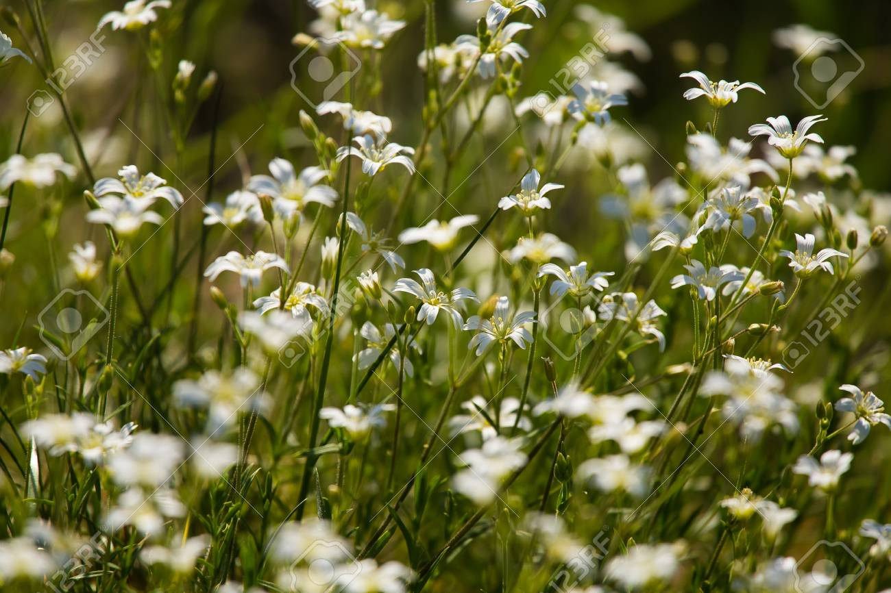 A beautiful closeup of small white flowers in a grass stock photo a beautiful closeup of small white flowers in a grass stock photo 80543213 mightylinksfo