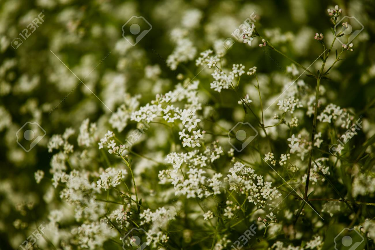Beautiful white tiny flowers in a natural habitat in summer in beautiful white tiny flowers in a natural habitat in summer in meadow stock photo 81121556 mightylinksfo