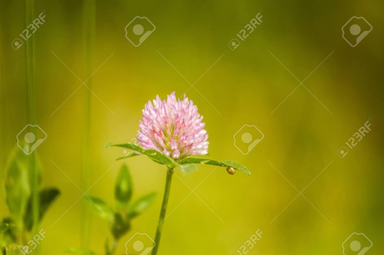 A Beautiful Vibrant Red Clover Flower In A Meadow Sunny Summer
