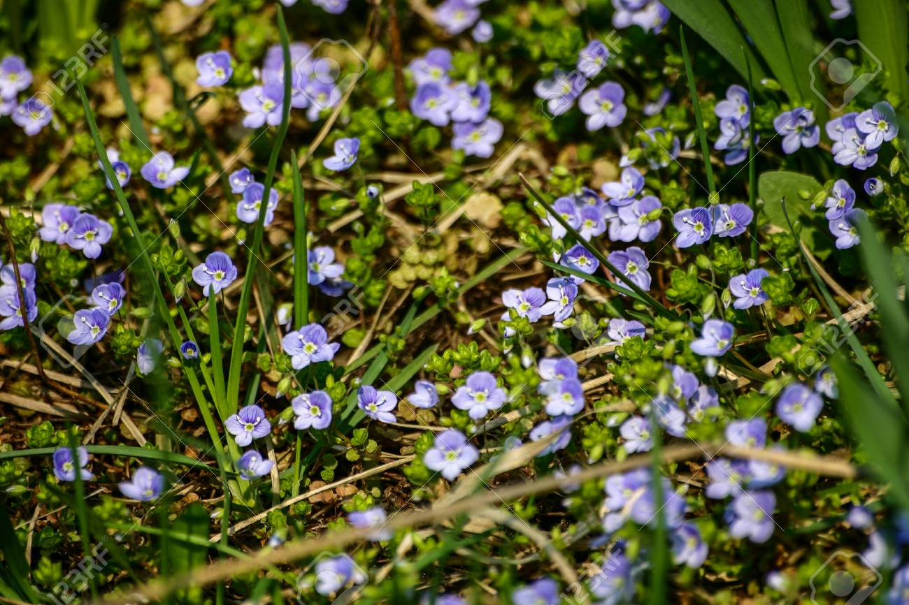 Beautiful Small Blue Flowers In The Grass In Spring Stock Photo Picture And Royalty Free Image Image 81288336