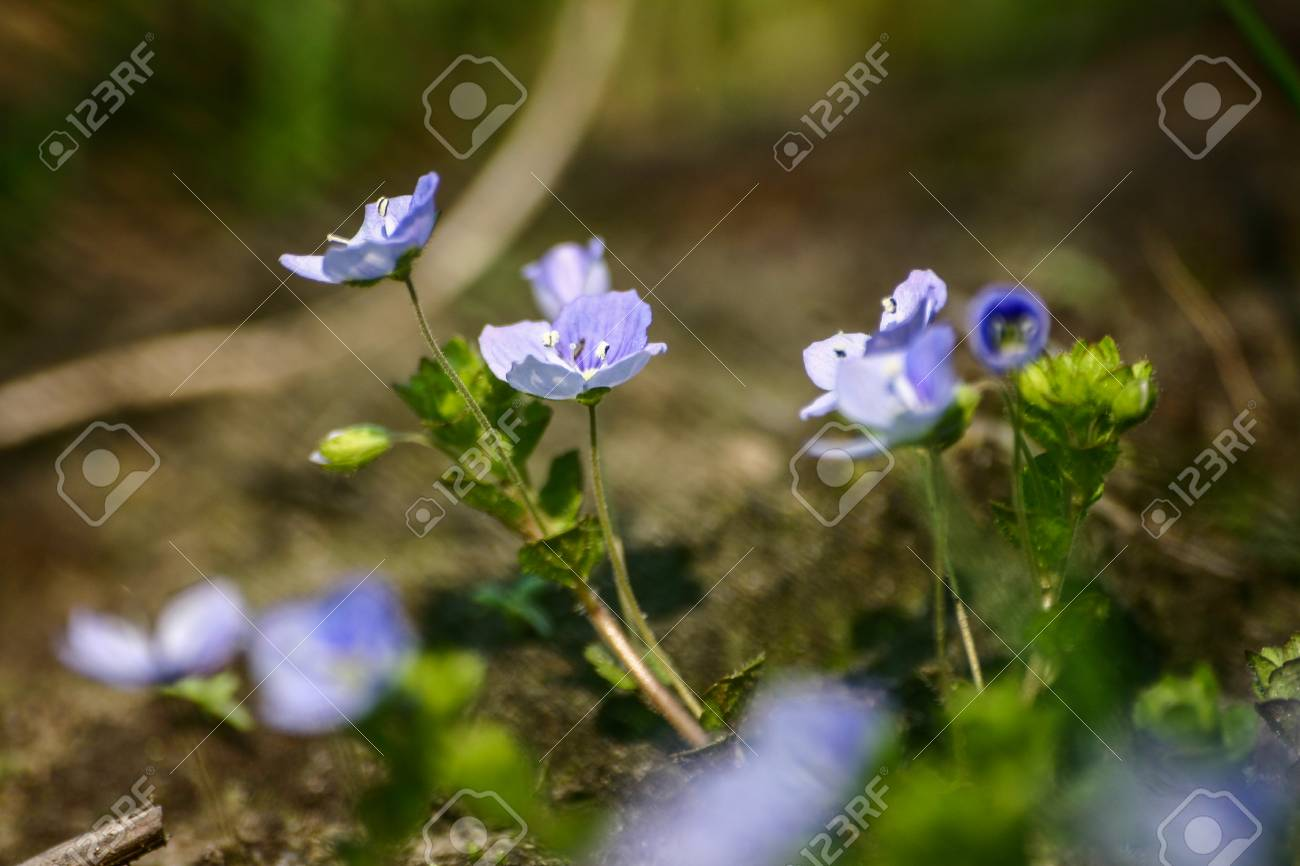 Beautiful Small Blue Flowers In The Grass In Spring Stock Photo