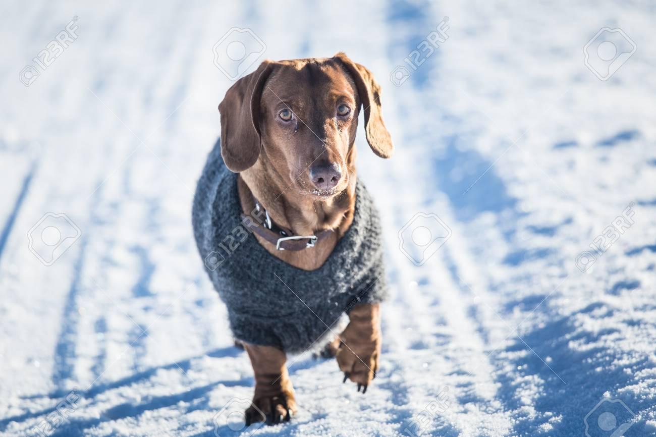 Un Hermoso Perro Marrón Dachshund Con Un Jersey De Punto En El ...