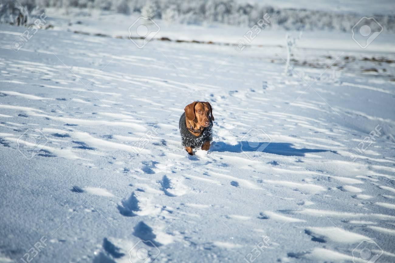Un Hermoso Perro Dachshund Marrón Con Un Suéter De Punto En El ...
