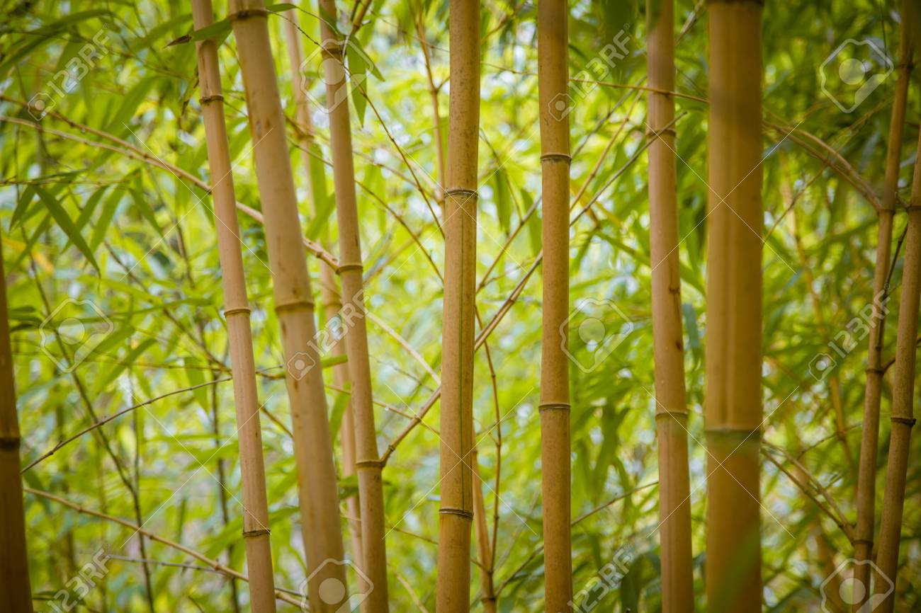 25b9c2df6b20 Beautiful bamboo growing in the park in summer Stock Photo - 86368786