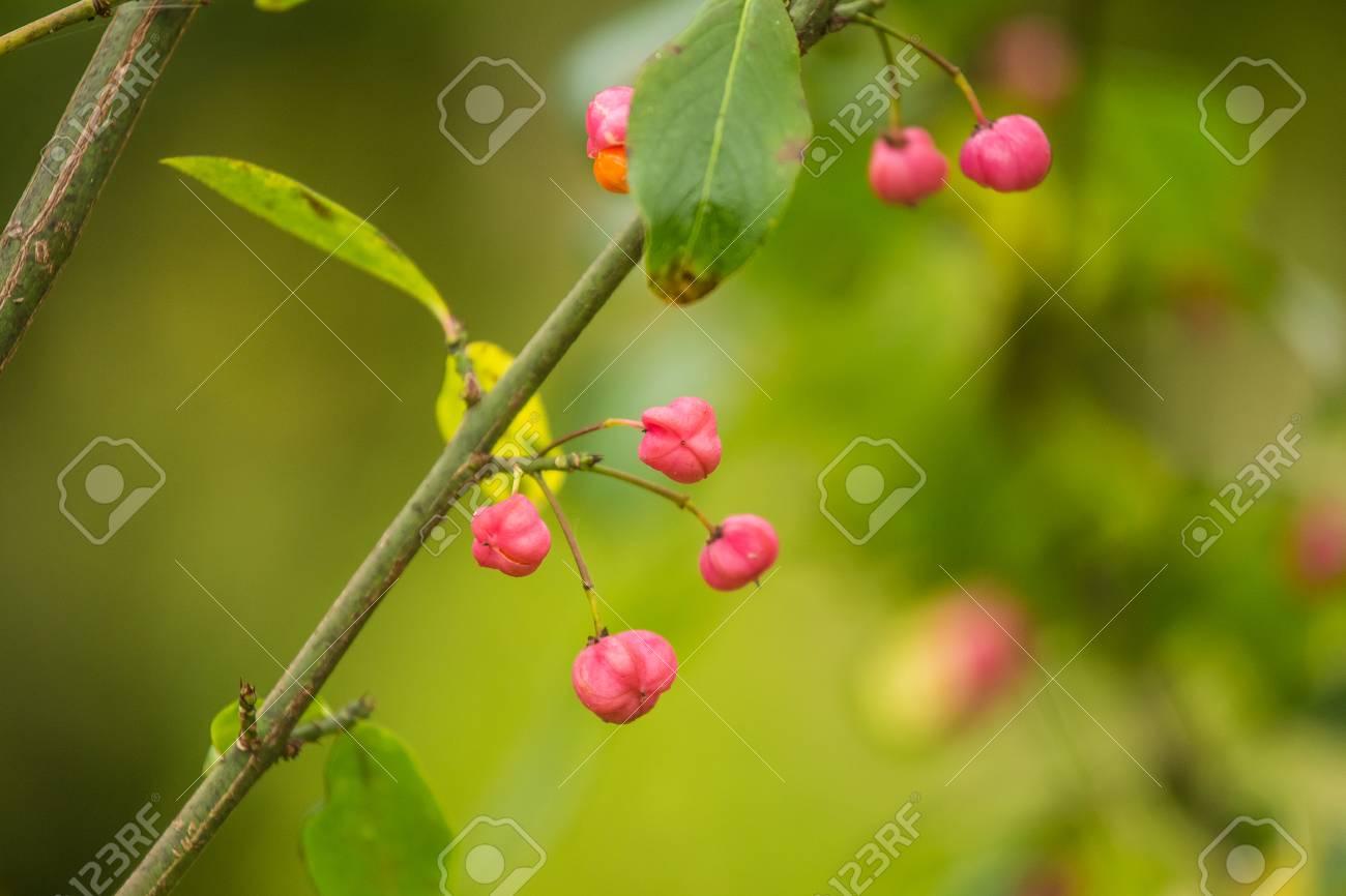 Schöne, Helle Früchte Des Spindelbaums Im Herbst Im Natürlichen ...