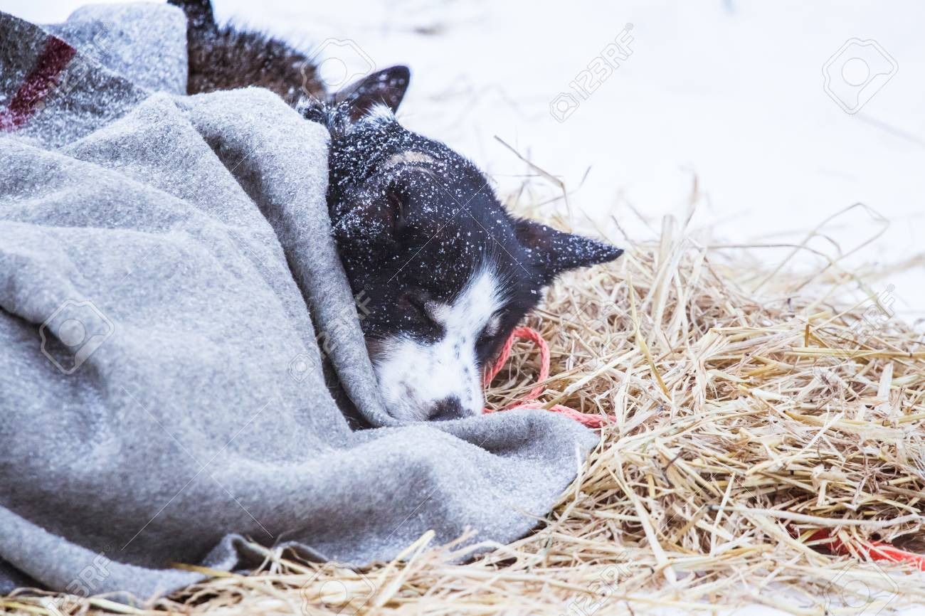 Aljaska - Page 2 96935734-beautiful-alaska-husky-dogs-resting-during-a-sled-dog-race-long-distance-sled-dog-race-in-norway-