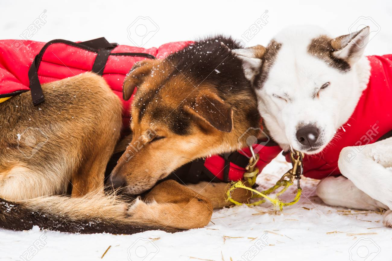 Aljaska - Page 2 96935790-beautiful-alaska-husky-dogs-resting-during-a-sled-dog-race-long-distance-sled-dog-race-in-norway-