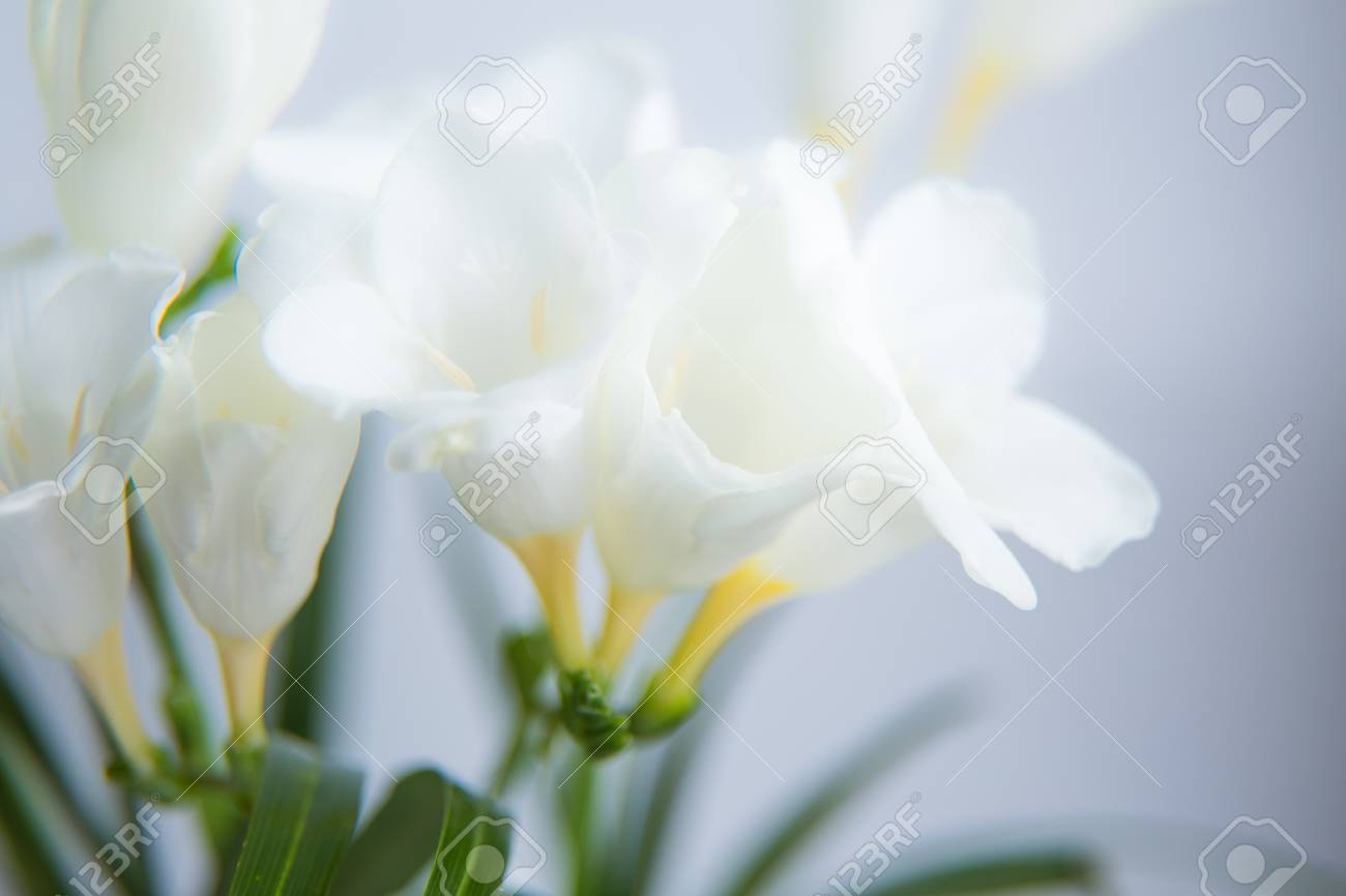 A Beautiful Closeup Of A White Freesia Flower With Shallow Depth