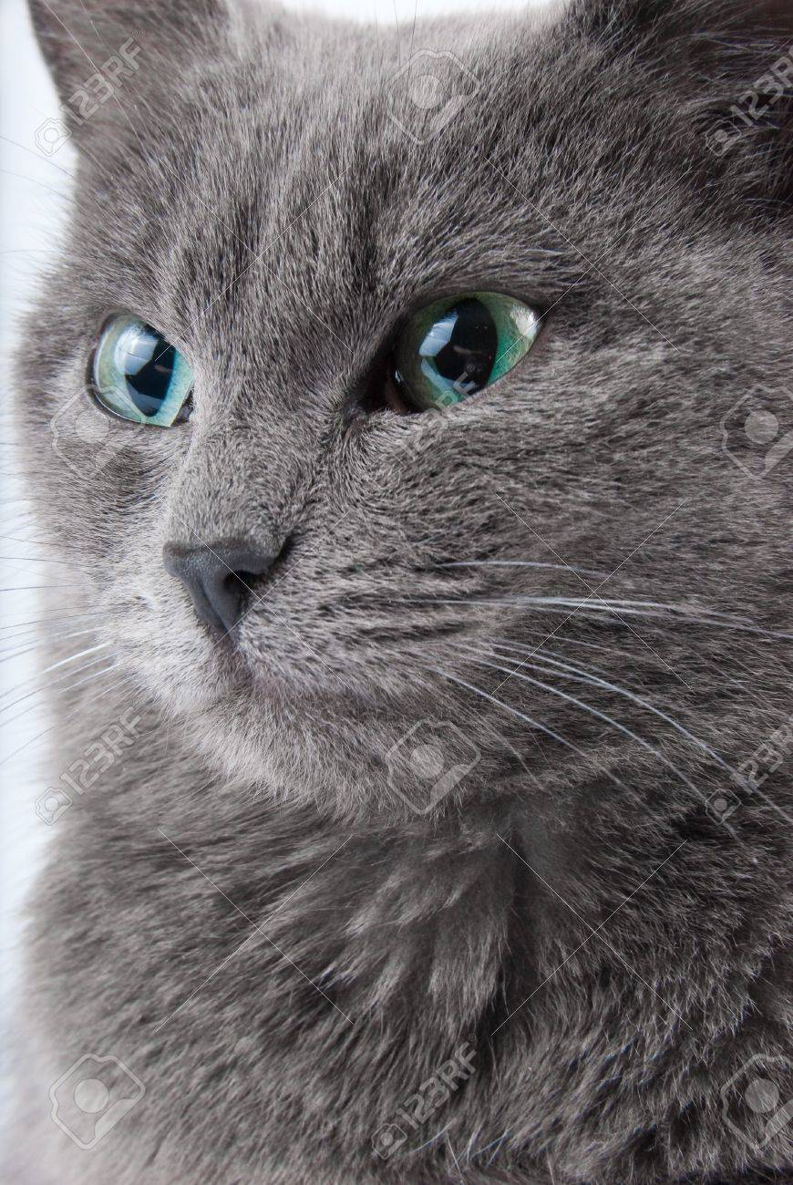 Grey Cat s Muzzle With Green Eyes Closeup Portrait Stock
