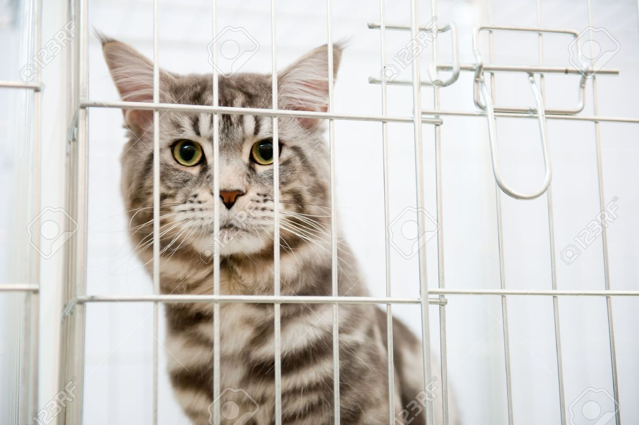 Grey striped cat in a cage behind bars looks to camera Stock Photo - 9116762
