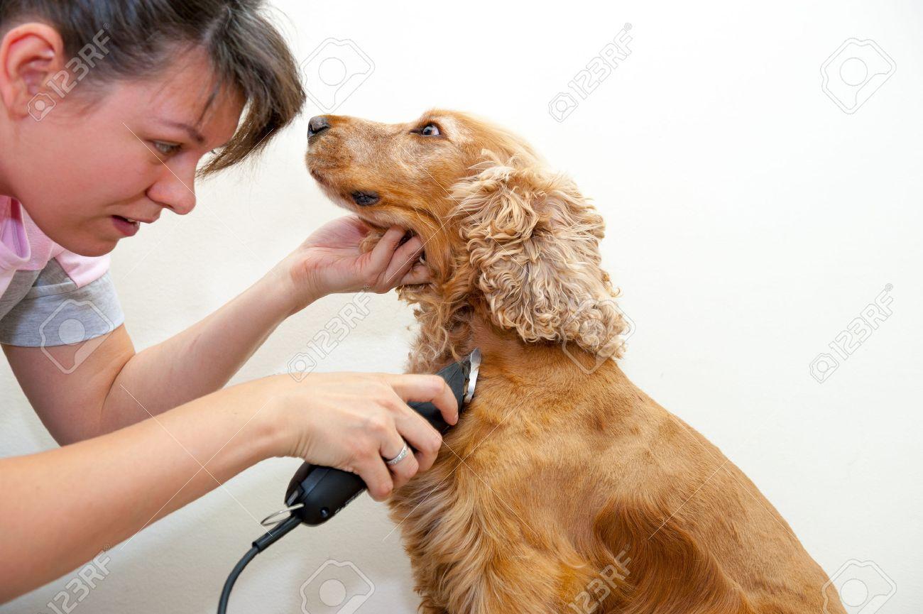 Female groomer haircut Cocker Spaniel - 22807598