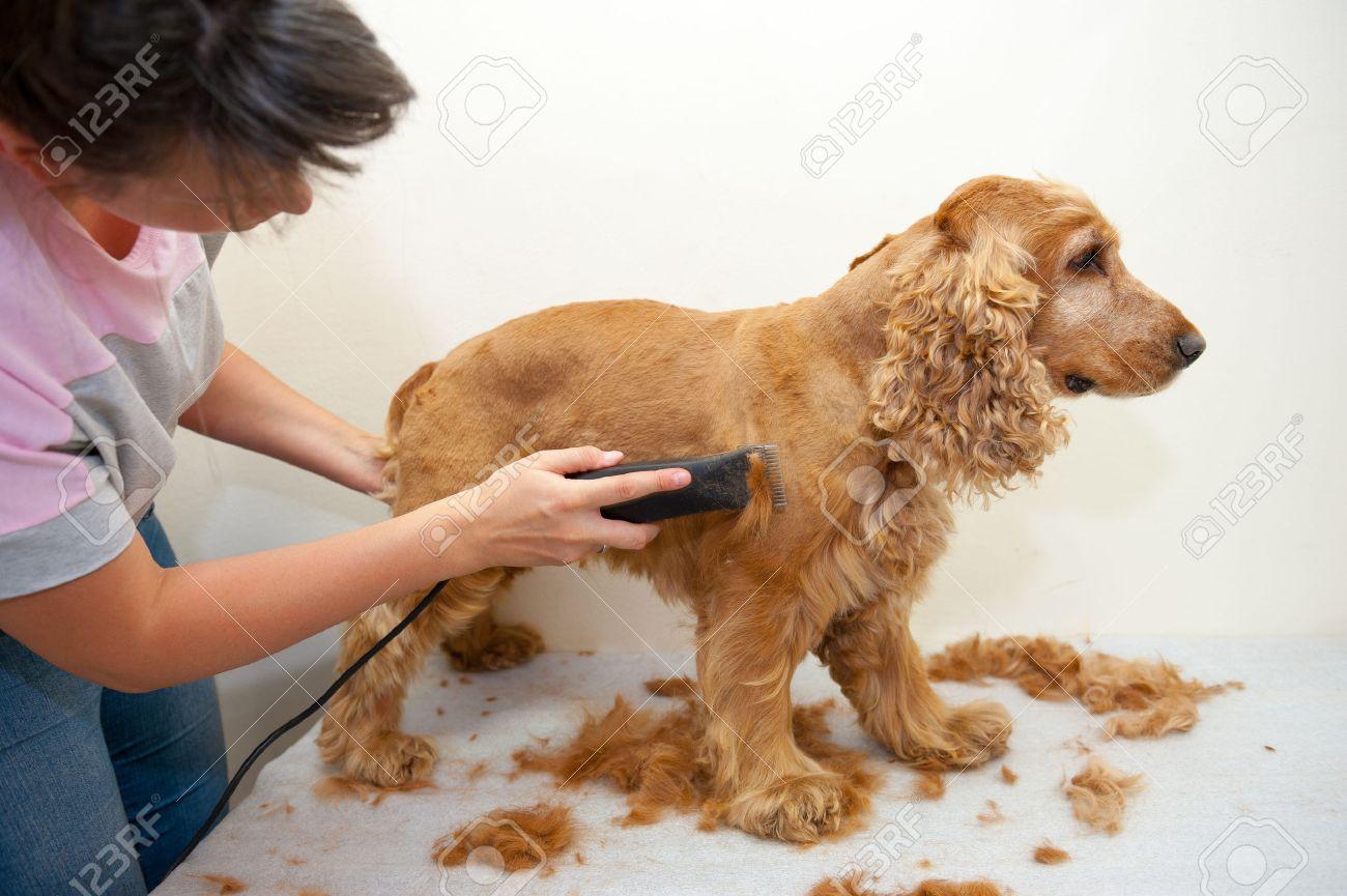 Female groomer haircut Cocker Spaniel - 22807602