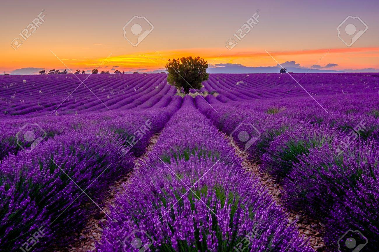 Tree in lavender field at sunset in Provence, France - 61590873