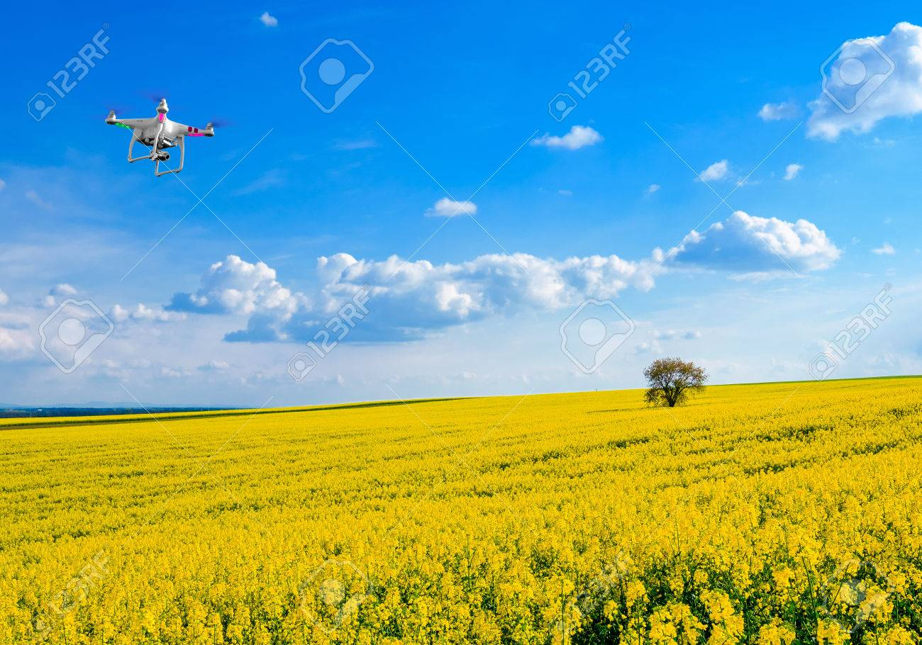 Lonely tree on the blooming colza field, drone in the sky - 62526515
