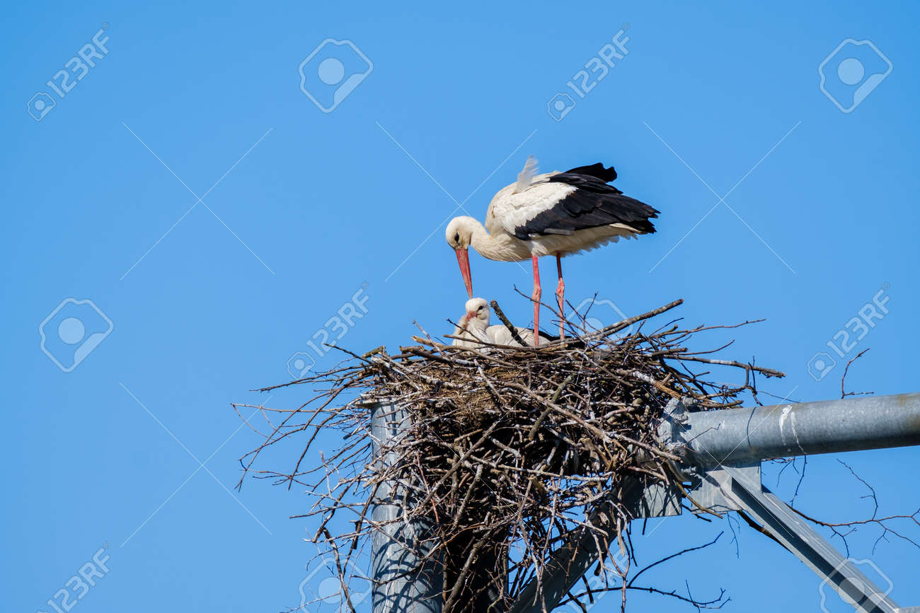 Stork with chick in nest - 170229541