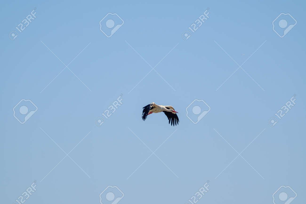 Stork flying in blue sky - 170229754