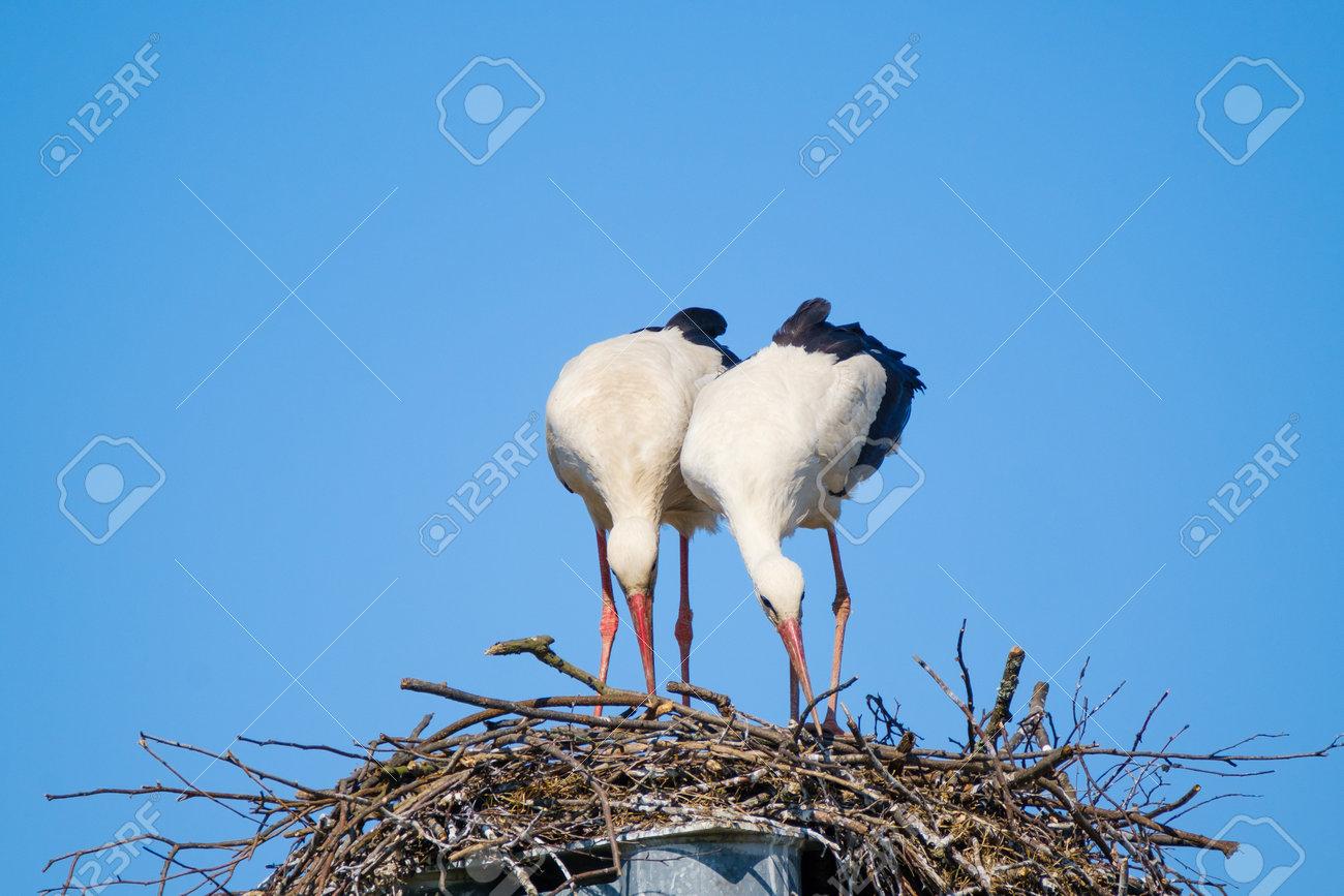 Couple of storks building nest together - 170146691